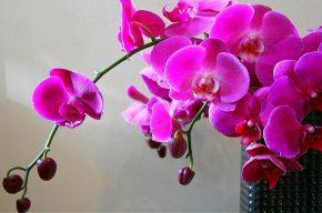 фиолетовые орхидеи