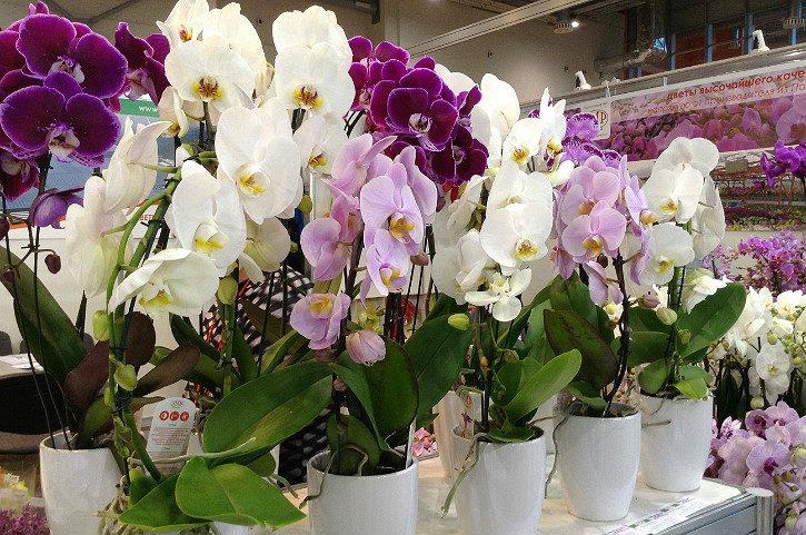 орхидеи в белых вазах