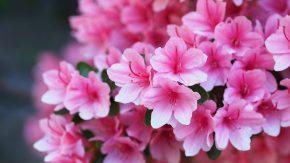 Розовая азалия