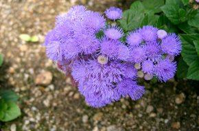 Агератум: особенности ухода и выращивание в домашних условиях