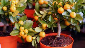 Домашний мандарин: выращиваем из косточки