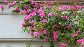 Клематис: правила посадки и ухода за цветущим растением