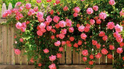 Плетистая роза: правила посадки и ухода