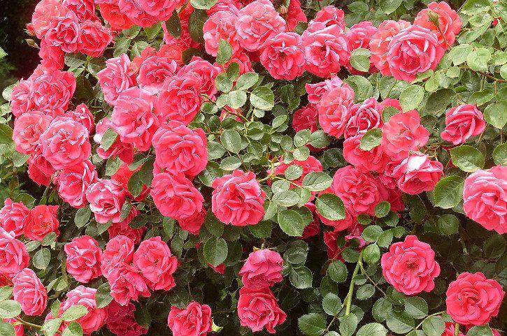цветы плетистой розы