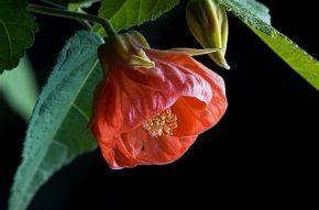 Абутилон или комнатный клен - как ухаживать за тропическим красавцем?