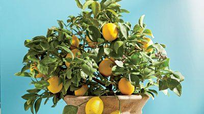 Как вырастить лимонное дерево из косточки?